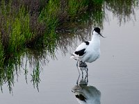 A stilt standing in the water
